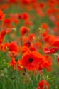 Image Ref: 12-71-86 - Field of Poppies, Viewed 5098 times