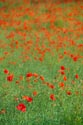 Image Ref: 12-71-90 - Field of Poppies, Viewed 4551 times