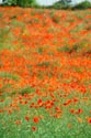 Image Ref: 12-71-91 - Field of Poppies, Viewed 4652 times