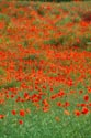 Image Ref: 12-71-92 - Field of Poppies, Viewed 4904 times
