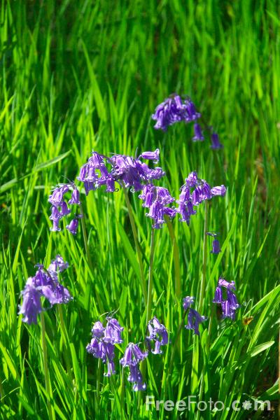 Picture of Bluebells - Scilla nonscripta - Free Pictures - FreeFoto.com