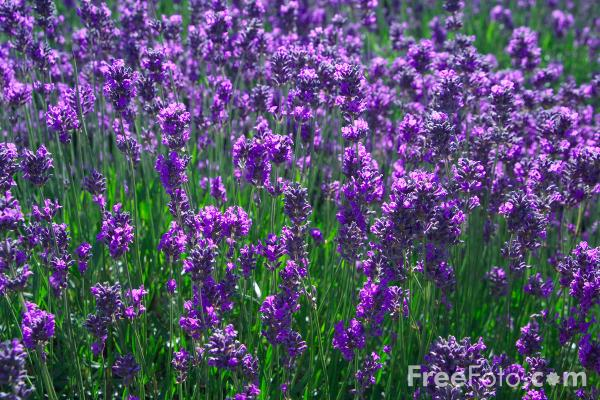 Lavender pictures  fre...