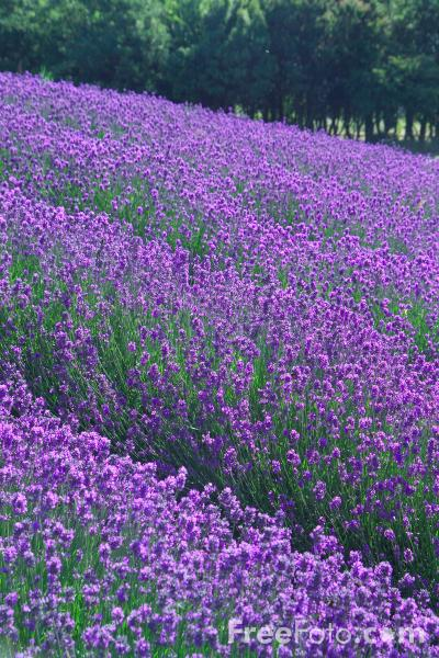 Picture of Lavender - Free Pictures - FreeFoto.com