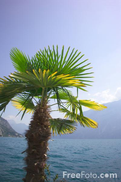 Picture of Palm Tree - Free Pictures - FreeFoto.com