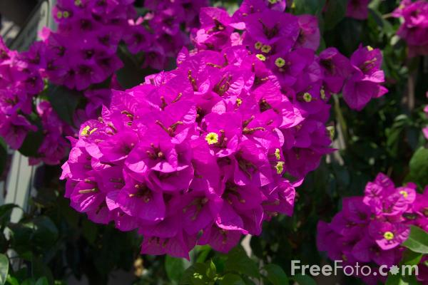 Picture of Bougainvillea - Free Pictures - FreeFoto.com