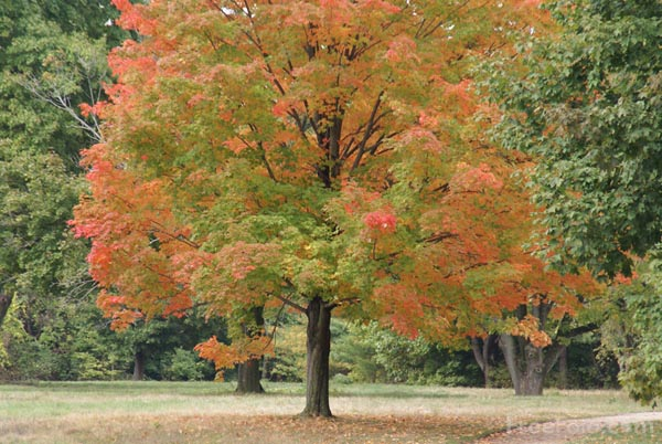 Picture of Fall Color, Sycamore Tree, Massachusetts, USA - Free Pictures - FreeFoto.com