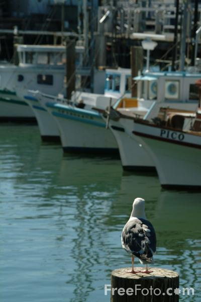 Picture of Seagull, Fisherman's Wharf, San Francisco, California - Free Pictures - FreeFoto.com