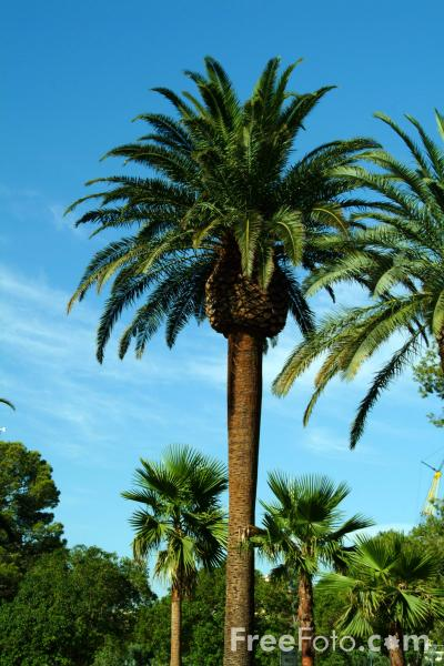 Picture of Palm tree, Las Vegas, Nevada, USA - Free Pictures - FreeFoto.com
