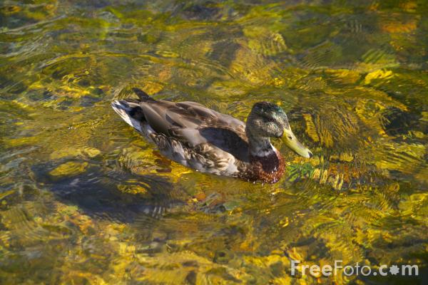 Picture of Duck, Willey Pond,  New Hampshire, USA - Free Pictures - FreeFoto.com