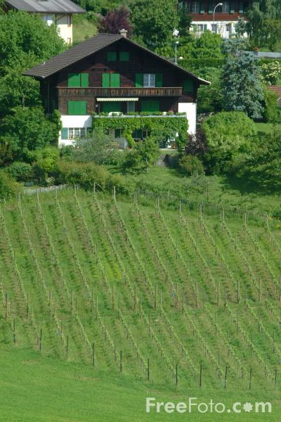 Picture of Vineyard, Spiez, Berner Oberland, Switzerland - Free Pictures - FreeFoto.com