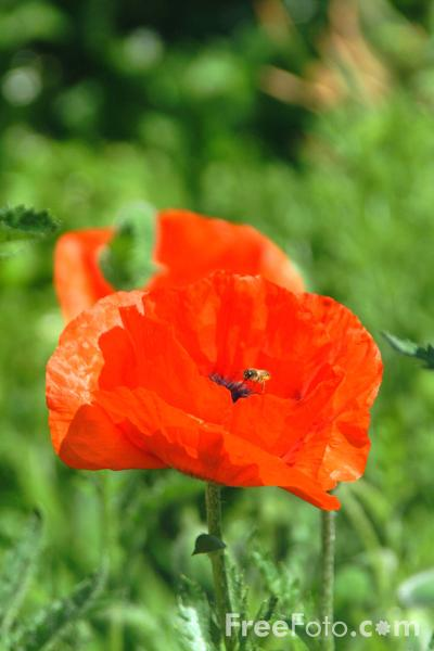 Picture of Poppy, Spiez, Berner Oberland, Switzerland - Free Pictures - FreeFoto.com