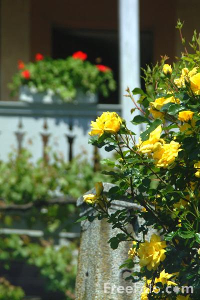 Picture of Roses, Spiez, Berner Oberland, Switzerland - Free Pictures - FreeFoto.com