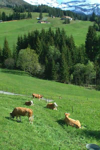 Picture of Cattle, Wengen, Berner Oberland, Switzerland - Free Pictures - FreeFoto.com