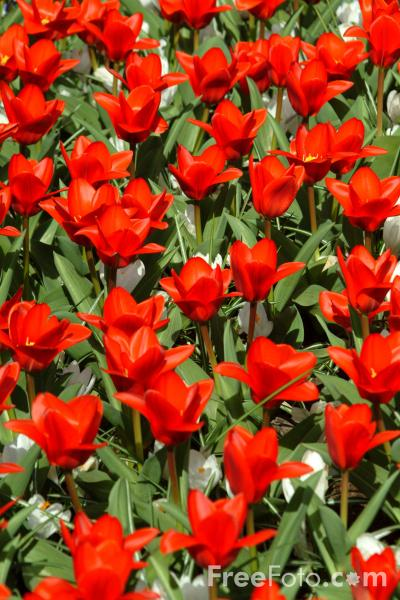 Picture of Tulips, Keukenhof, Holland - The Netherlands - Free Pictures - FreeFoto.com