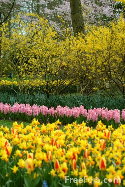 Picture of Keukenhof, Holland - The Netherlands - Free Pictures - FreeFoto.com