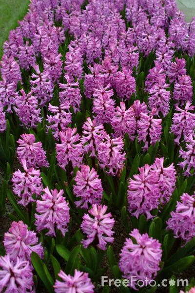 Picture of Flowers, Keukenhof, Holland - The Netherlands - Free Pictures - FreeFoto.com