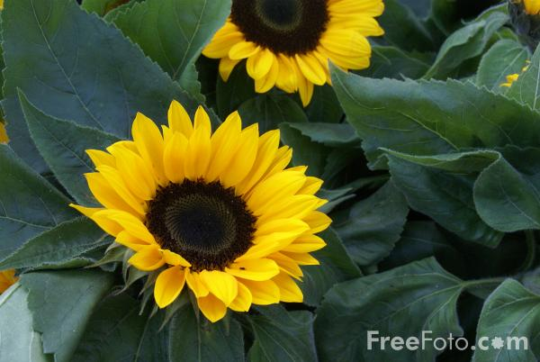 Picture of Sunflowers, Flower Market, Amsterdam - Free Pictures - FreeFoto.com