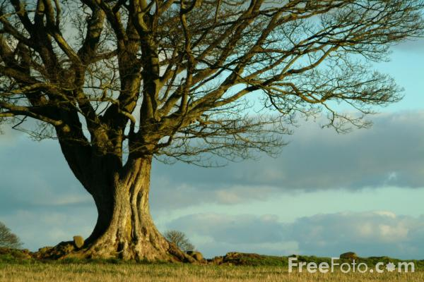 Picture of Tree - Free Pictures - FreeFoto.com
