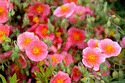 Image Ref: 15-05-14 - Potentilla, Viewed 26407 times