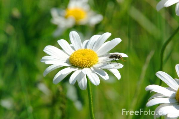 Picture of Daisy - Free Pictures - FreeFoto.com
