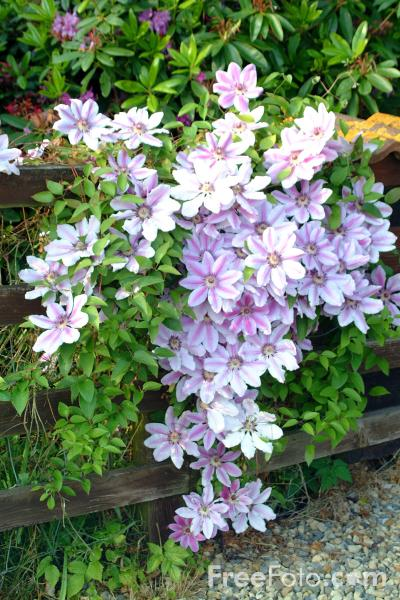 Picture of Clematis Montana - Free Pictures - FreeFoto.com