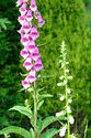 Image Ref: 15-05-59 - Foxglove, Viewed 11328 times
