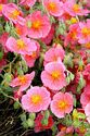 Image Ref: 15-05-61 - Potentilla, Viewed 19719 times