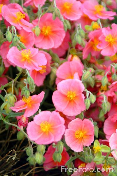 Picture of Potentilla - Free Pictures - FreeFoto.com