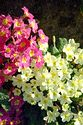Image Ref: 15-05-65 - Primula, Viewed 15113 times
