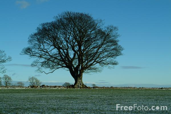 Picture of Sycamore Tree - Free Pictures - FreeFoto.com