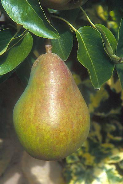 Picture of Pears - Free Pictures - FreeFoto.com