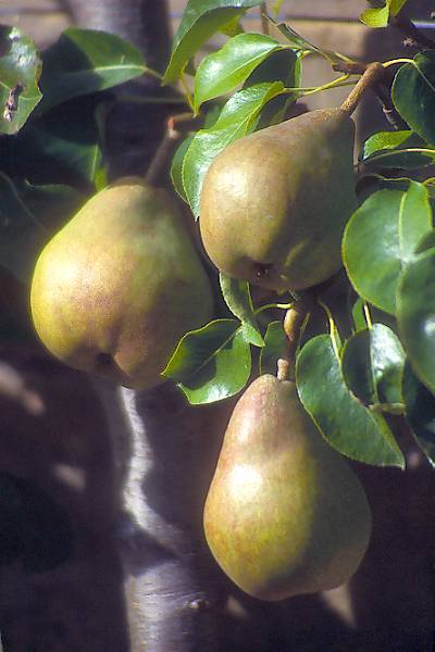 Picture of Pear - Free Pictures - FreeFoto.com