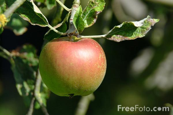 Picture of Apple - Free Pictures - FreeFoto.com