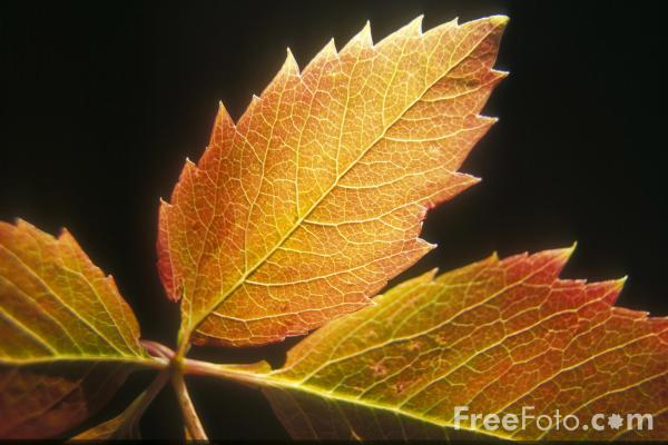 Picture of Leaf - Free Pictures - FreeFoto.com