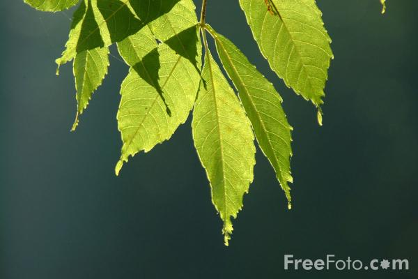 Picture of Leaves - Free Pictures - FreeFoto.com