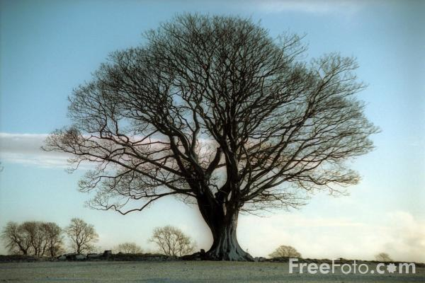 Sycamore Tree, Northumberland pictures, free use image, 15-19-16 ...