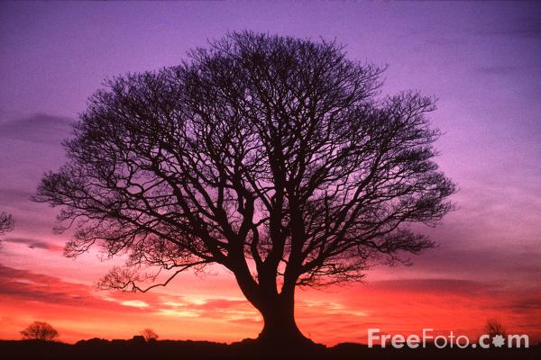 Tree, Sunrise, Northumberland pictures, free use image, 15-19-1 by ...