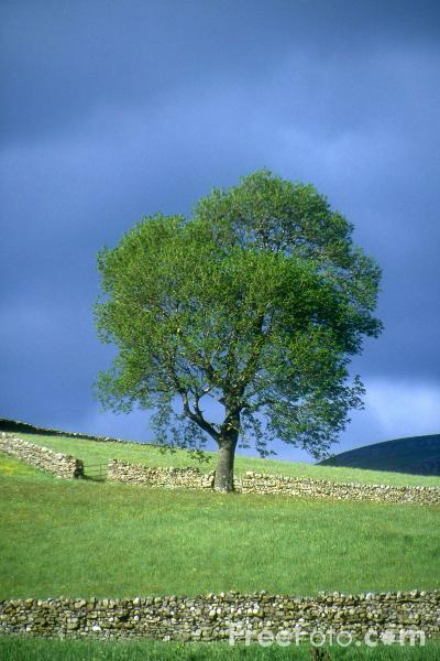 Picture of Tree, Wensleydale, Yorkshire - Free Pictures - FreeFoto.com