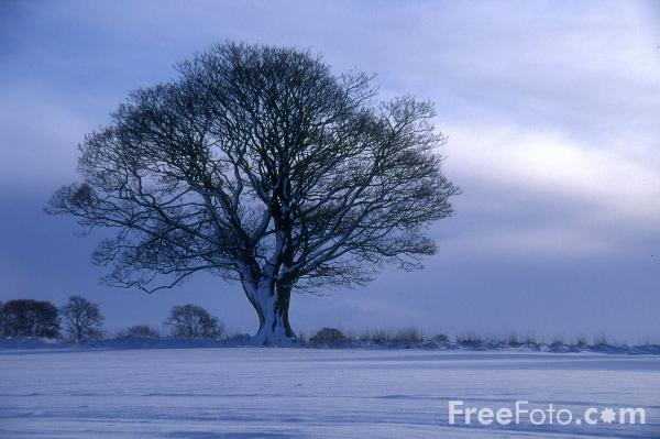 Picture of Tree, Winters Morning, Northumberland - Free Pictures - FreeFoto.com