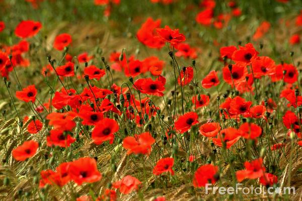 Picture of Poppies - Free Pictures - FreeFoto.com
