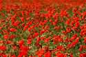 Image Ref: 15-35-33 - Poppies, Viewed 7095 times