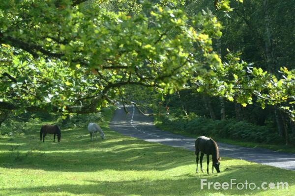 Picture of New Forest - Free Pictures - FreeFoto.com