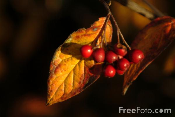 Picture of Berries - Free Pictures - FreeFoto.com