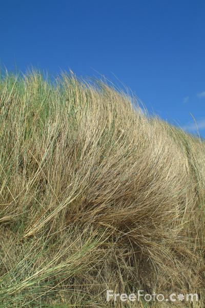 Picture of Grass, Seashore, Holy Island, Northumberland - Free Pictures - FreeFoto.com