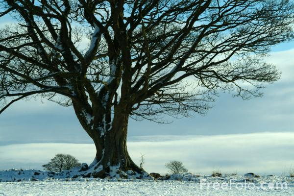 Picture of Sycamore Tree in the snow, Northumberland - Free Pictures - FreeFoto.com