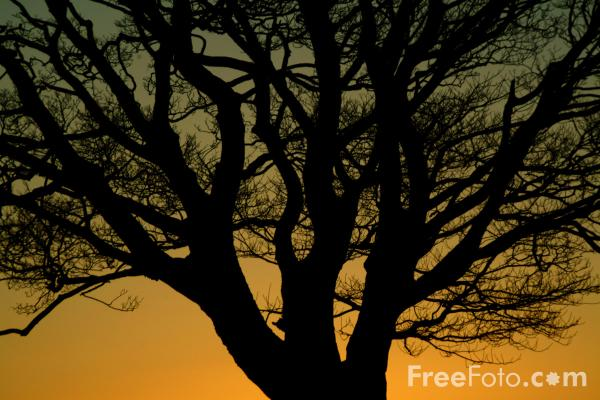 Picture of Sycamore Tree at Sunrise, Northumberland - Free Pictures - FreeFoto.com