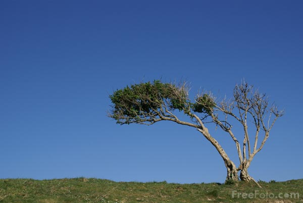 Picture of Windswept Tree - Free Pictures - FreeFoto.com