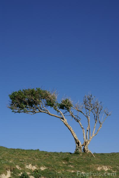 Windswept Tree Pictures Free Use Image 15 88 59 By