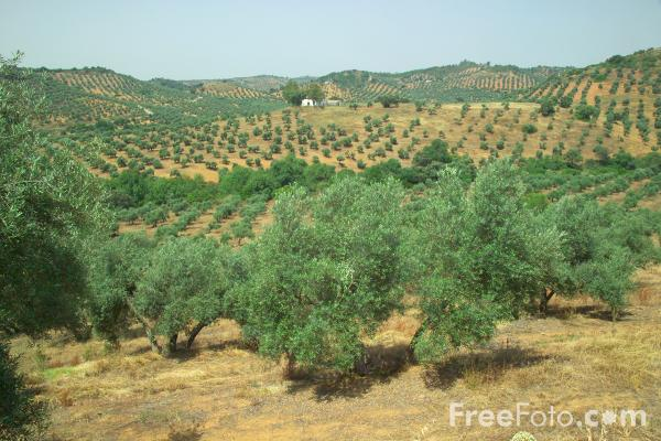 Picture of Olive Trees - Free Pictures - FreeFoto.com