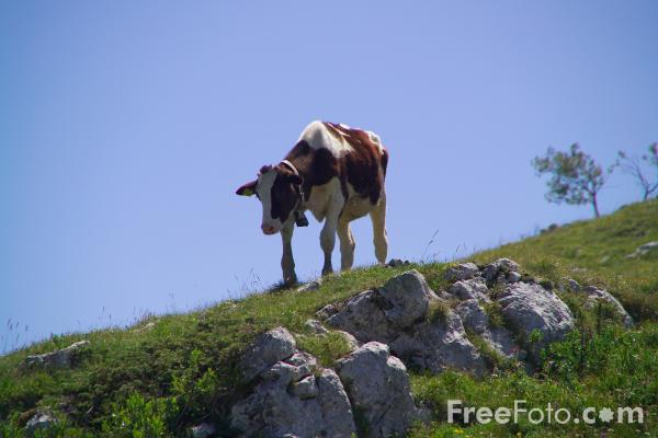 Picture of Alpine Cow, Monte Baldo, Lake Garda, Italy - Free Pictures - FreeFoto.com